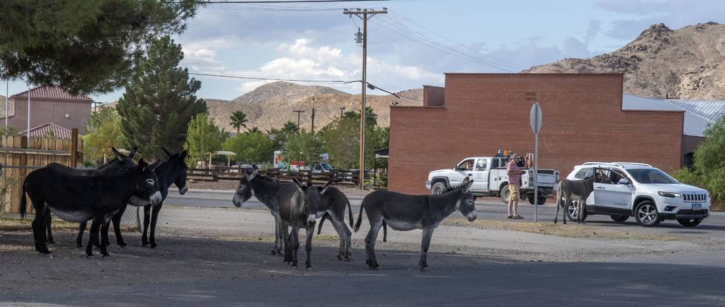 Richard Stephens/Special to the Pahrump Valley Times Many of the burros have become accustomed ...