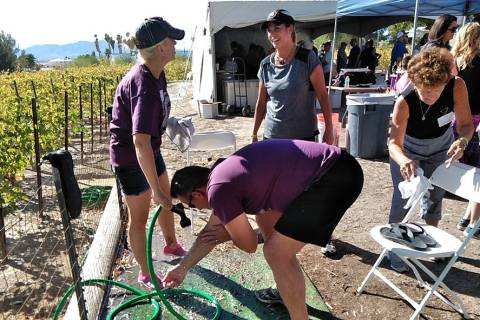 Selwyn Harris/Pahrump Valley Times Grape stomp competitors get hosed down after their respectiv ...