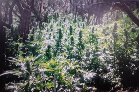 Nye County Sheriff's Office/screenshot A total of 5,742 plants were discovered and eradicated a ...
