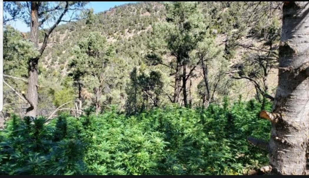 Nye County Sheriff's Office/screenshot The Nye County Sheriff's Office announced the major pot ...