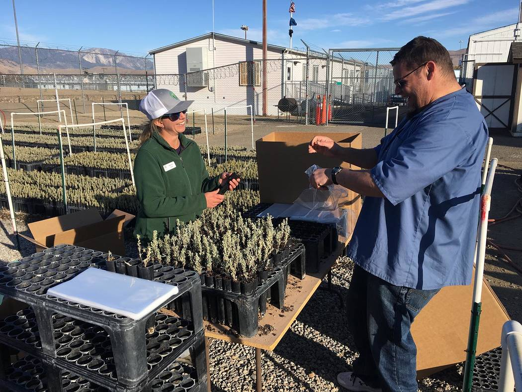 Nevada Department of Corrections Shannon Swim, of the Institute for Applied Ecology, works with ...