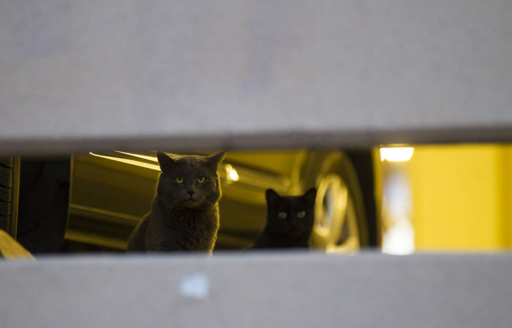 Feral cats look out from a parking garage in downtown Las Vegas on Wednesday, April 12, 2017. C ...
