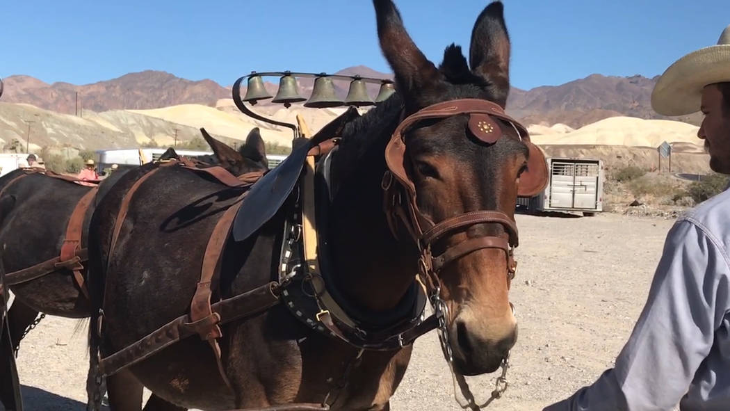 Jeffrey Meehan/Pahrump Valley Times A set of bells on two lead mules in a group of 20 were used ...