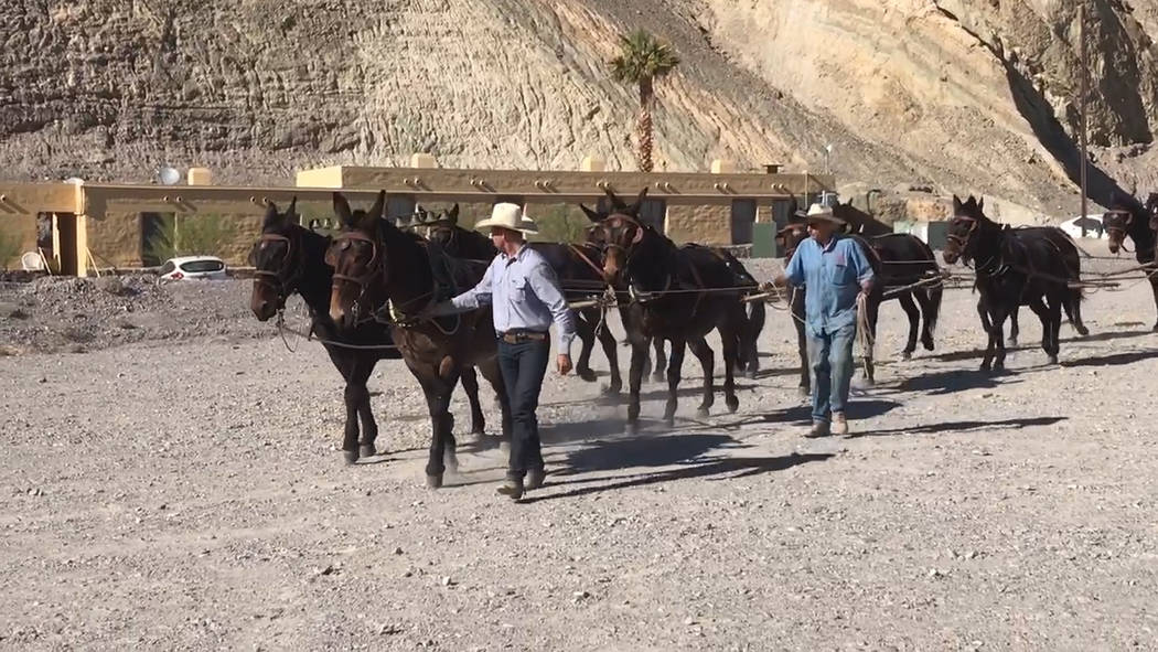 Jeffrey Meehan/Pahrump Valley Times A team of 20 mules pulled more than eight tons of weight wh ...