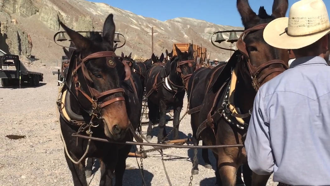 Jeffrey Meehan/Pahrump Valley Times A team of 20 mules line up to make a round trip from The In ...