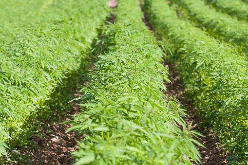 Getty Images Hemp farming has become quite popular in the Pahrump Valley but complaints about ...