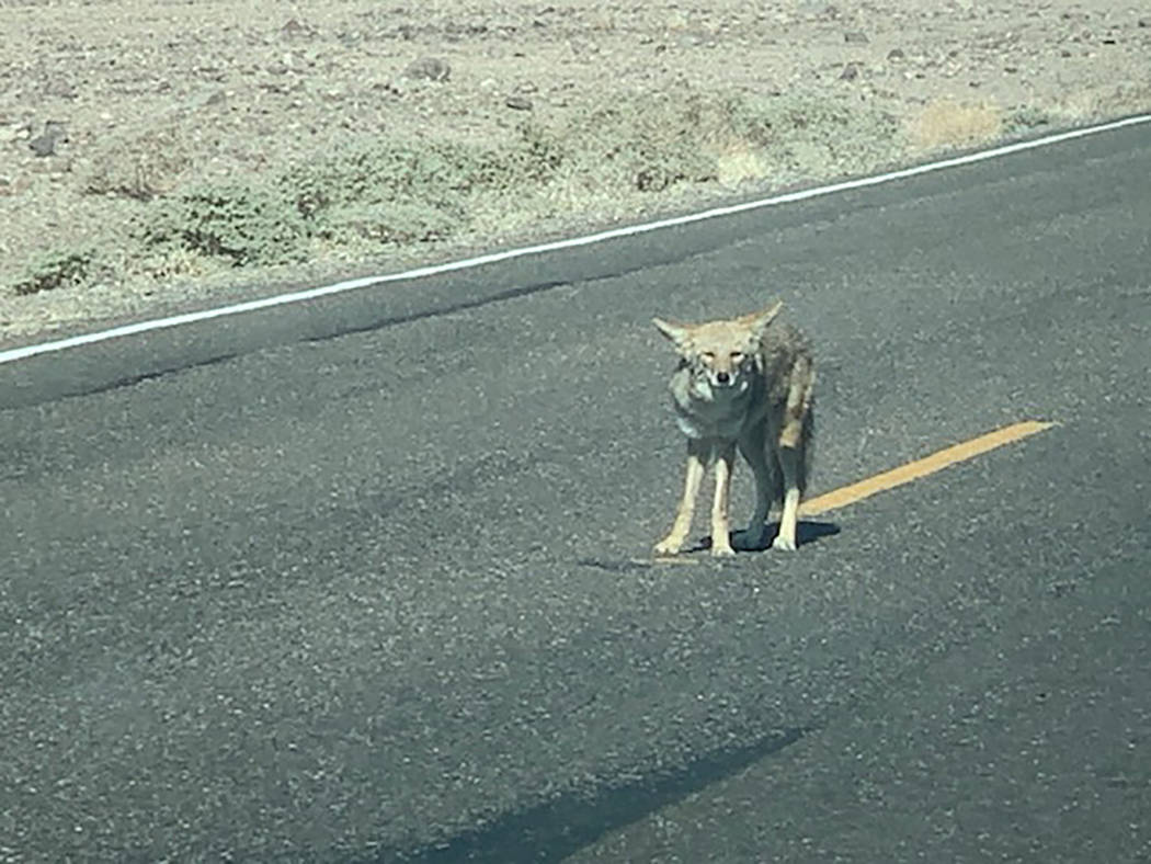 National Park Service Park rangers educate visitors not to feed coyotes or other wildlife, Deat ...