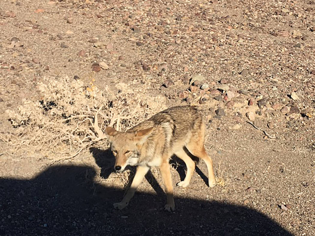 National Park Service A few days before this coyote was accidentally killed by a vehicle, it wa ...