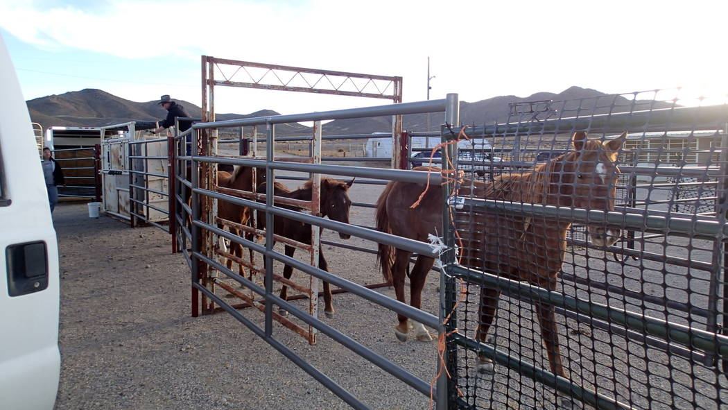 Special to the Pahrump Valley Times/file Wild horses from the Reveille Herd Management Area arr ...