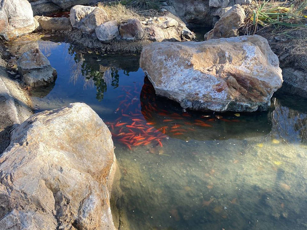 Special to the Pahrump Valley Times While cleaning and repairs took place, fish and other aquat ...