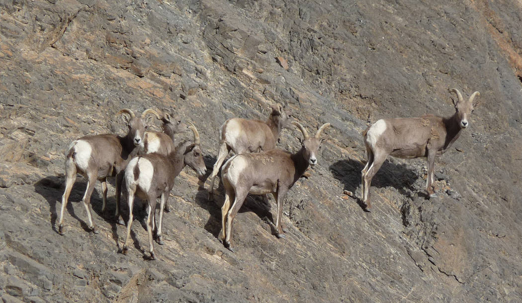 National Park Service A group of female bighorn sheep in Death Valley. The National Park Servic ...