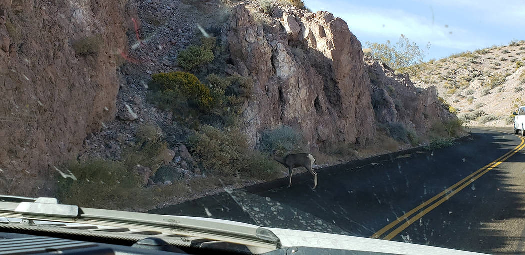 National Park Service Baby bighorn sheep at as shown in a photo provided by Death Valley Nation ...