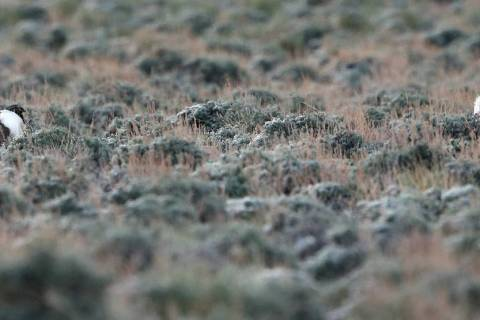 Cathleen Allison/Las Vegas Review-Journal file Male bi-state sage grouse wander their mating gr ...