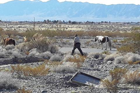 Selwyn Harris/Pahrump Valley Times Nye County Animal Control Officer Levi Gregory attempts to s ...