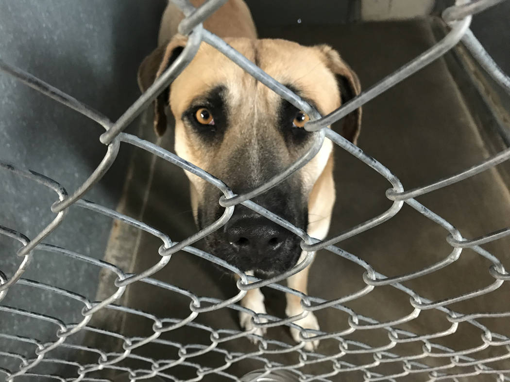 Robin Hebrock/Pahrump Valley Times A large bullmastiff, this male is 2 years old and became ava ...