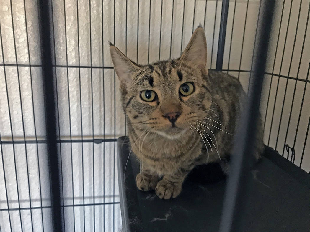 Robin Hebrock/Pahrump Valley Times Max is a gray tabby who is about 8 months old. He has spent ...