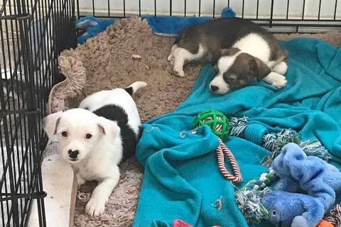 Robin Hebrock/Pahrump Valley Times Adorable and heart-melting, puppies are often the most sough ...
