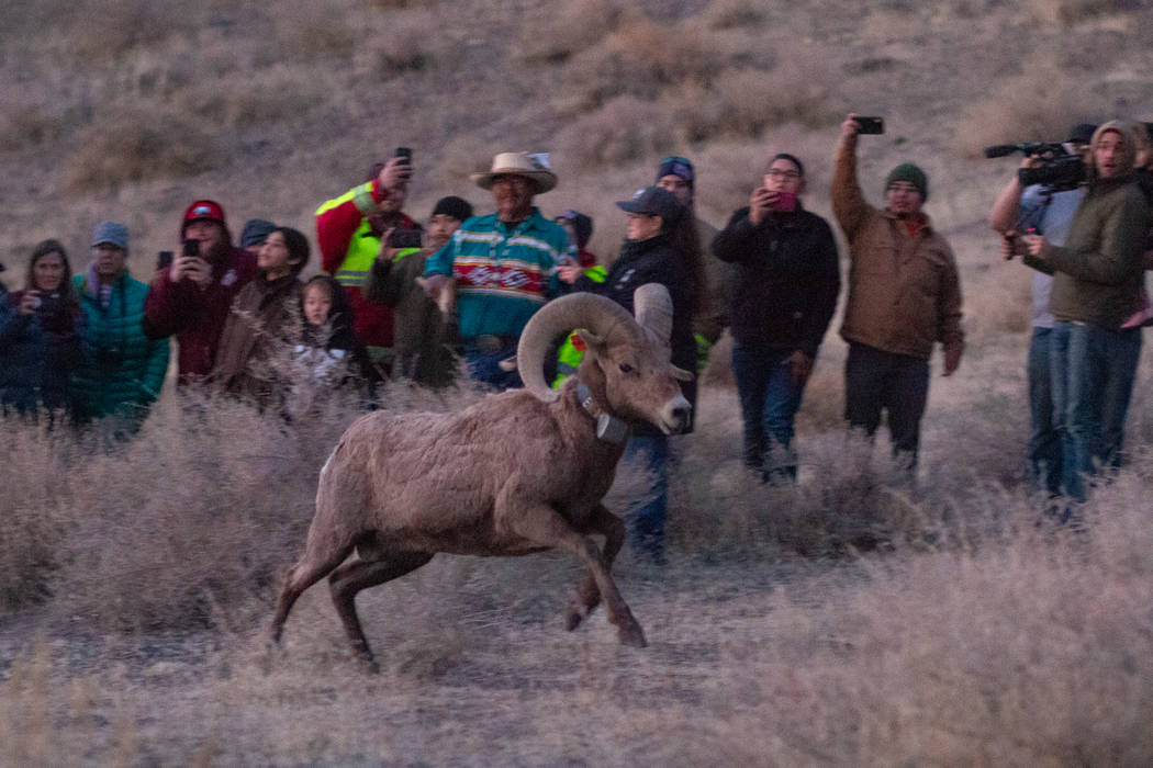 Colton Lochhead/Las Vegas Review-Journal The Nevada Department of Wildlife and Pyramid Lake Pai ...
