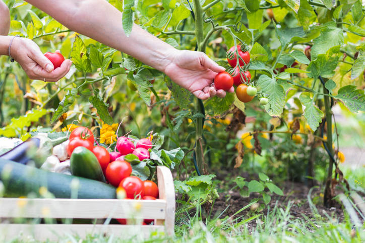 """Getty Images """"To me there is nothing like a tomato in season,"""" writes Terri Meehan, freelance c ..."""