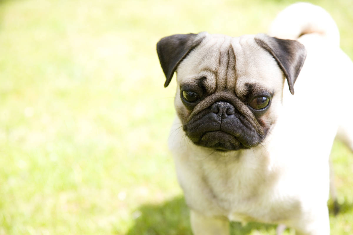 Getty Images A pet pug in North Carolina is first dog to test positive for COVID-19. Dog in pho ...
