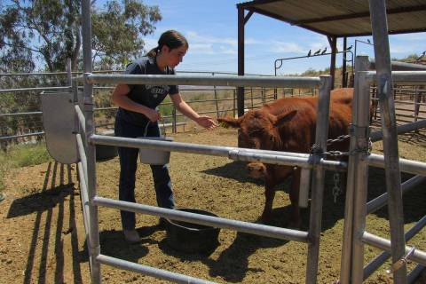 Special to the Pahrump Valley Times A 4-H participant takes care of her animals on Day 1 of the ...