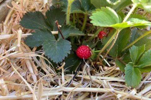 Terri Meehan/Special to the Pahrump Valley Times Strawberries in our climate may not grow as l ...