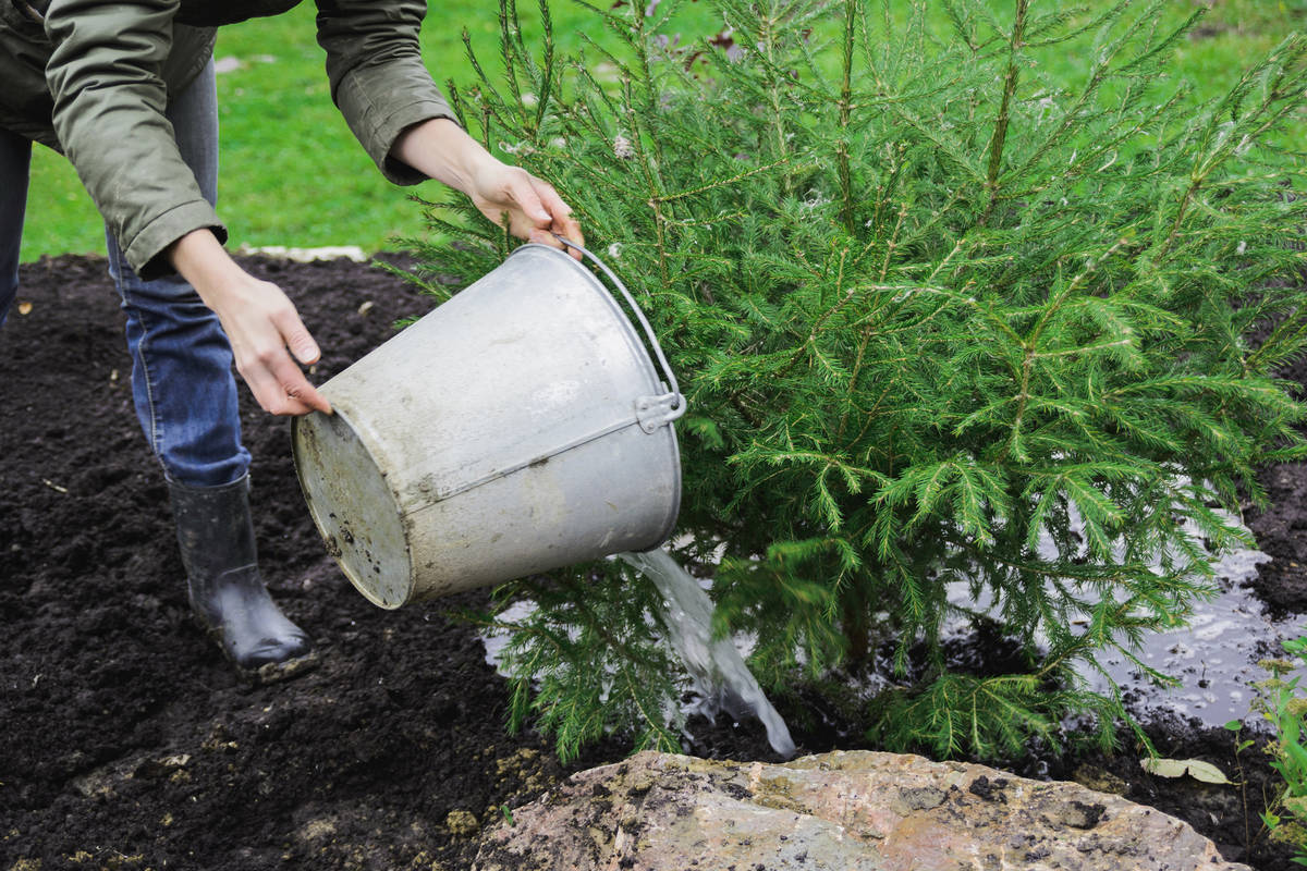 Getty Images Use weed tea by pouring the diluted mixture directly on the soil at the base of t ...