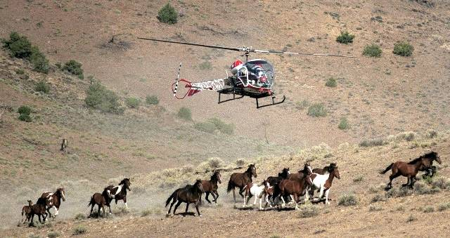 Special to the Pahrump Valley Times The use of helicopters in rounding up wild horses and burro ...