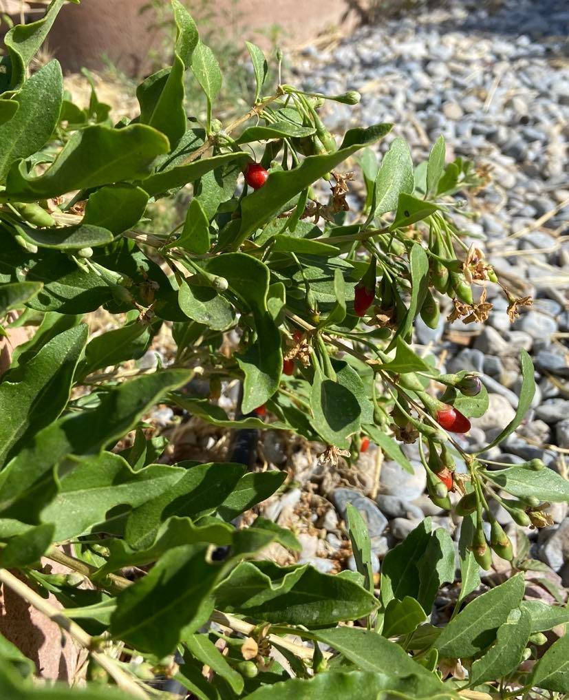 In Season Look No Further Than Goji Berries For An Exotic