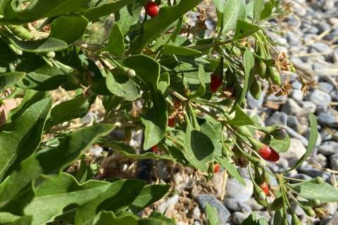 Terri Meehan/Special to the Pahrump Valley Times Goji berries are an edible perennial that thr ...