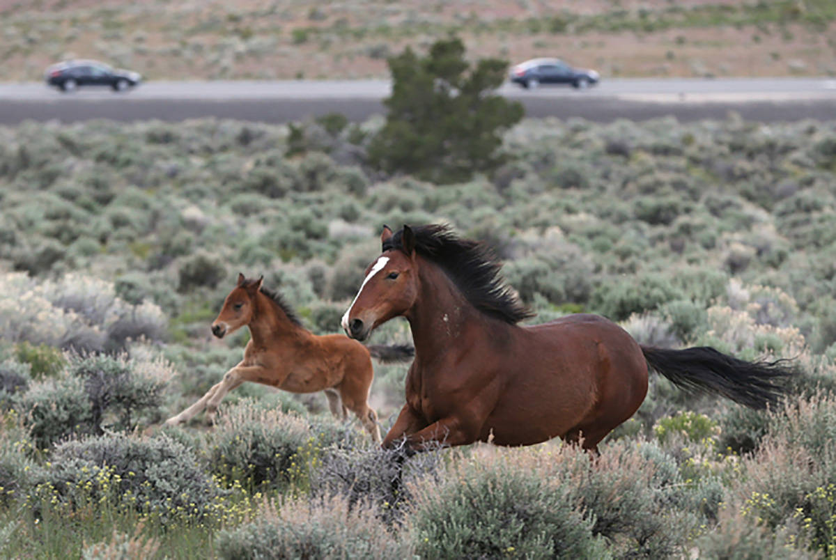 Las Vegas Review-Journal-file The BLM plans to gather approximately 125 wild horses from within ...