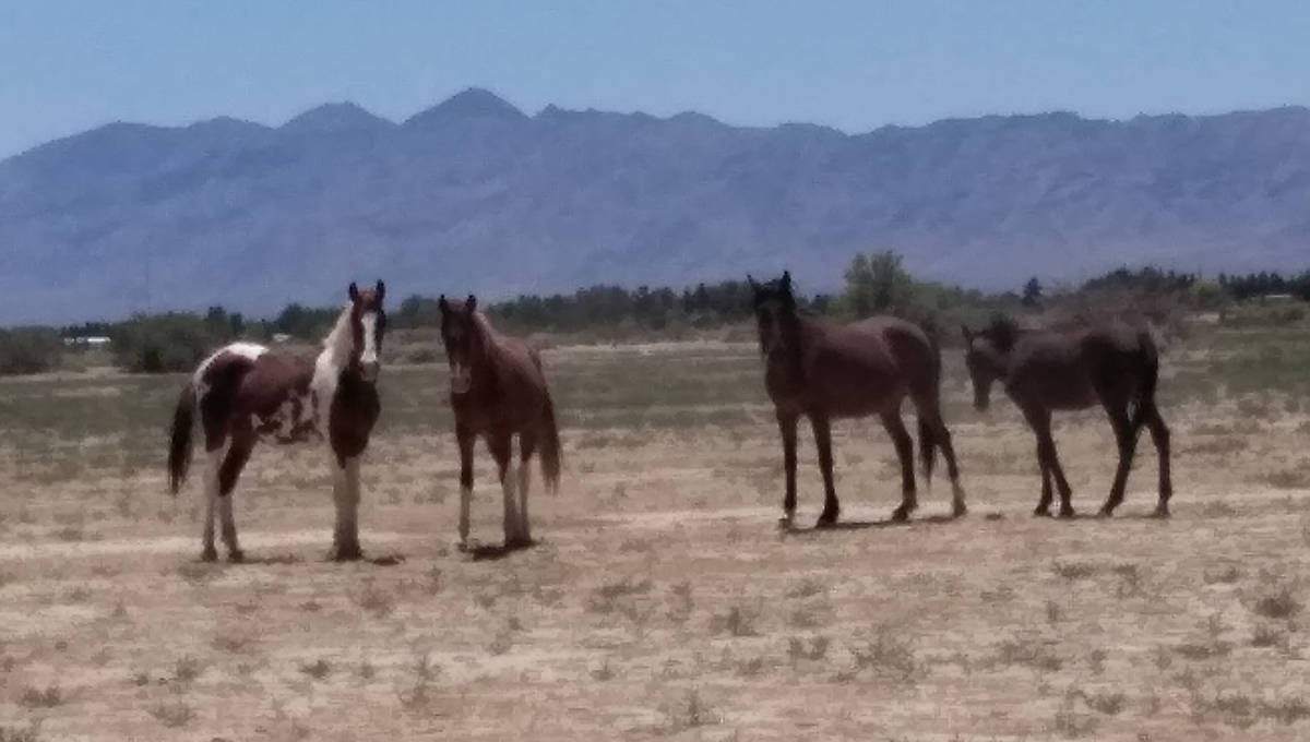 Selwyn Harris/Pahrump Valley Times Small herds of wild horses and donkeys routinely roam the ar ...