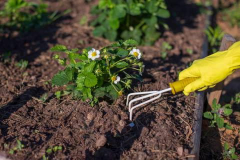 Getty Images Fall is a great time to plant strawberries. They will have a chance to get establi ...