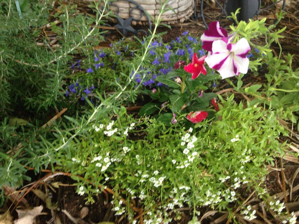 """Terri Meehan/Special to the Pahrump Valley Times Red and """"Candy Cane"""" striped petunias ser ..."""