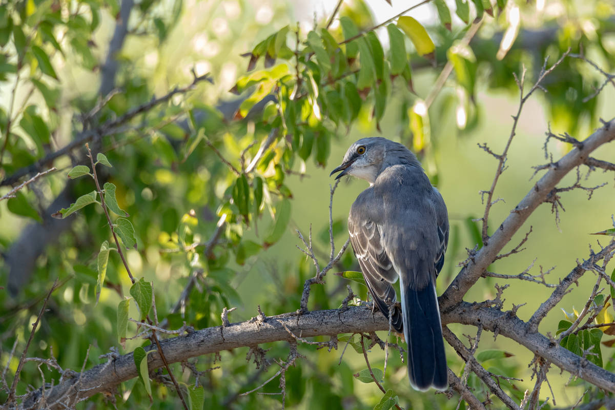 Getty Images Mesquite also serves as food and habitat for native bird species and pollinators.