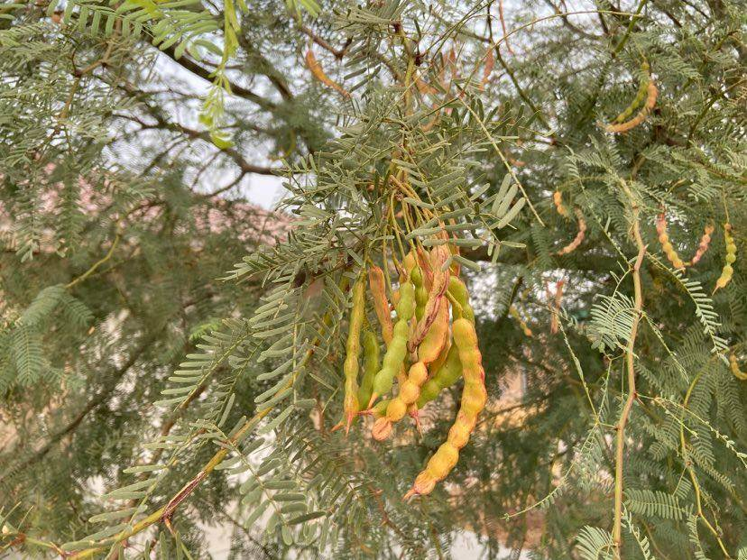 Terri Meehan/Special to the Pahrump Valley Times Velvet Mesquite pods slowly change from hues ...