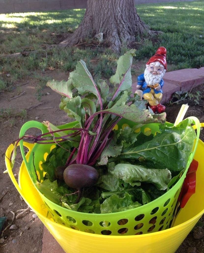 Terri Meehan/Special to the Pahrump Valley Times Beets, a member of the same family as Swiss c ...