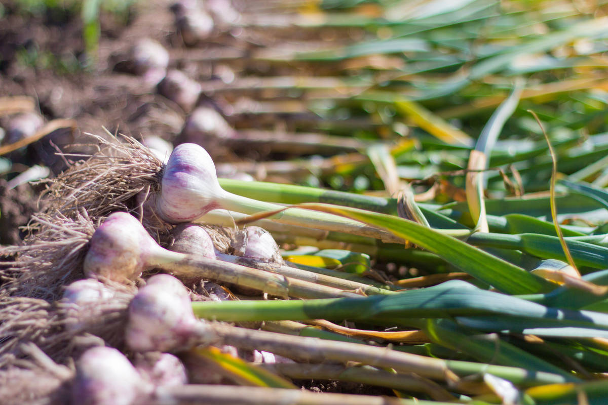 Getty Images Garlic grows well in our climate when planted at the right time. Get your orders ...