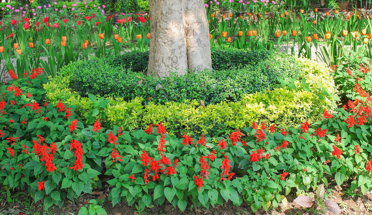 Getty Images When planted in a ring around taller plants or accents, scarlet sage provides bea ...
