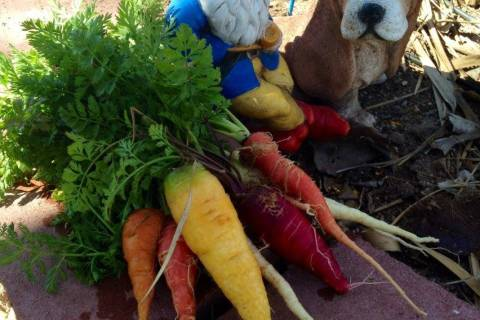 Terri Meehan/Special to the Pahrump Valley Times A kaleidoscope of colorful carrot varieties a ...