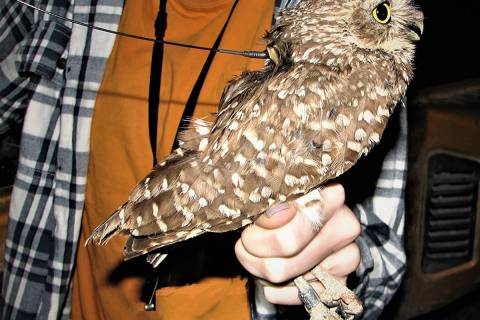 Special to the Pahrump Valley Times Each owl in the study by Nevada National Security Site biol ...