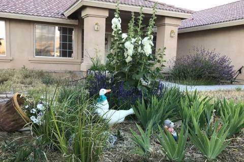 Terri Meehan/Pahrump Valley Times One of my favorite ways to arrange hollyhocks is as a centra ...