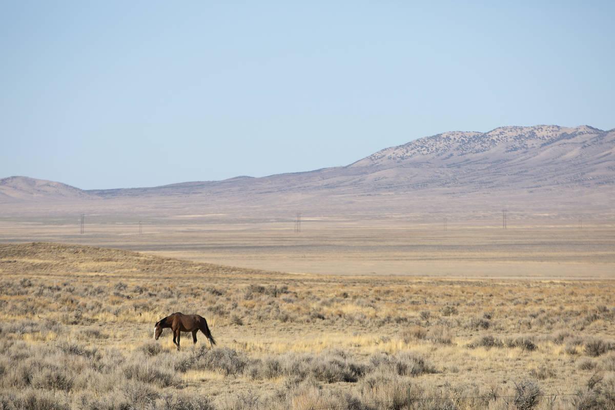 Ellen Schmidt/Las Vegas Review-Journal The BLM plans to gather approximately 195 wild horses, r ...