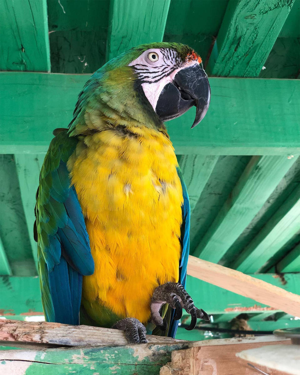"""Special to the Pahrump Valley Times """"Miller,"""" Heidi Fleiss' macaw, was located safe and sound a ..."""