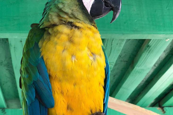 "Special to the Pahrump Valley Times ""Miller,"" Heidi Fleiss' macaw, was located safe and sound a ..."