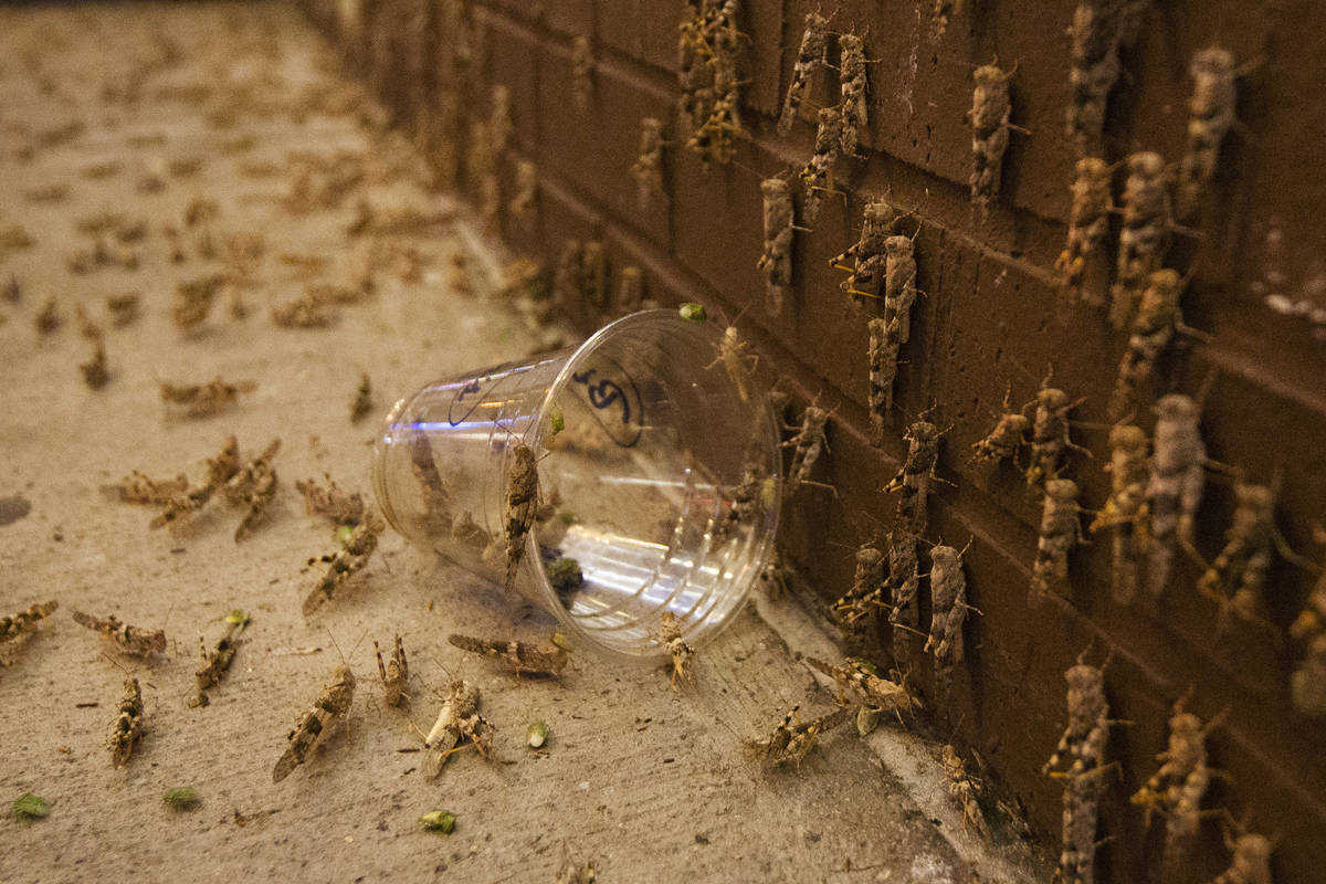 Grasshoppers outside the El Cortez on Sunday, July 28, 2019 in Las Vegas. (Michael Blackshire/L ...