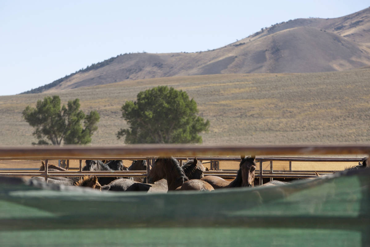Wild horses are held in temporary pens during the Diamond HMA wild horse gather on Thursday, Se ...