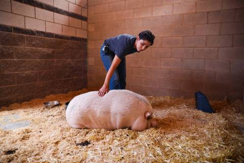 Lisa Watson, an animal care supervisor, pets Cupcake, a pot bellied pig that was abandoned and ...