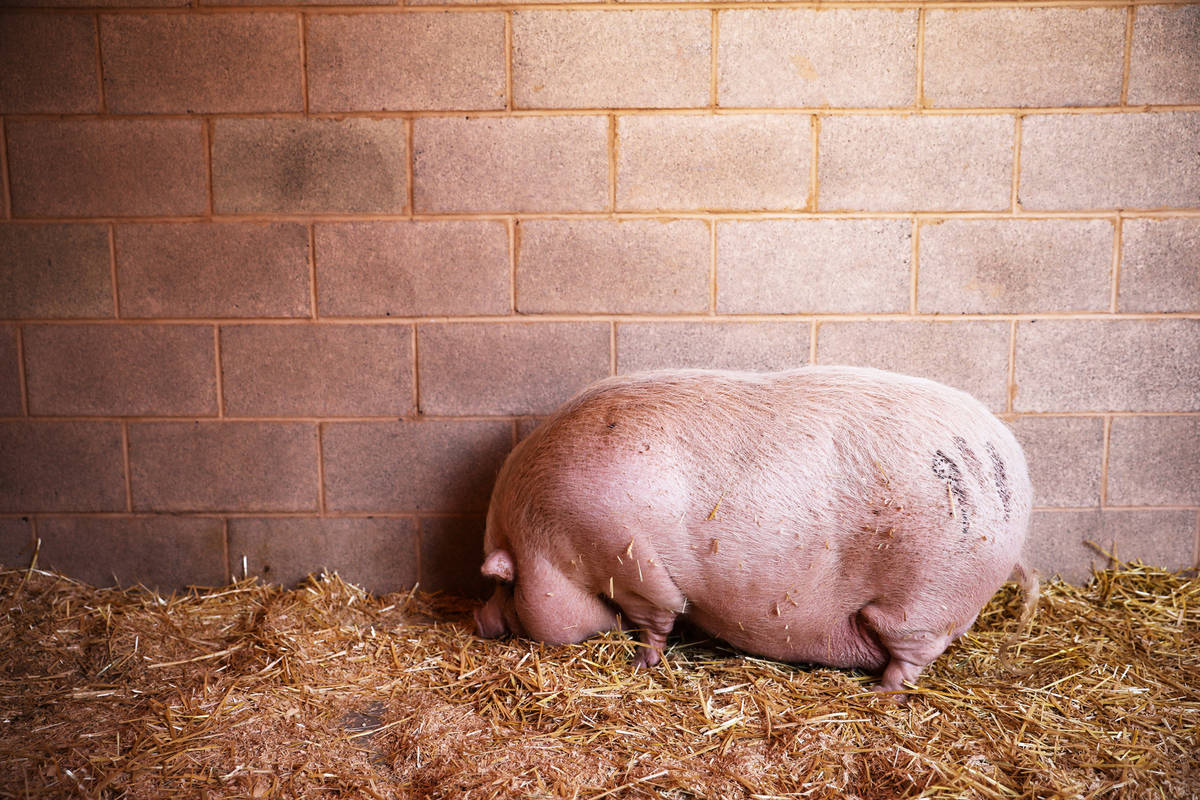 Cupcake, a pot bellied pig that was abandoned and is up for adoption, at the Animal Foundation, ...