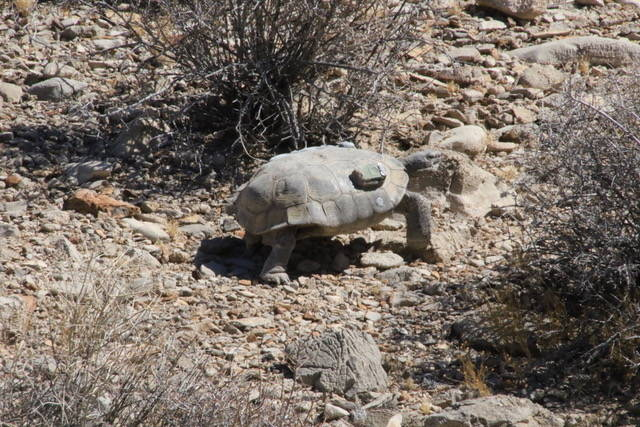 A radioed desert tortoise is a part of a study in the greater Ivanpah Valley near Primm, southw ...